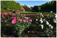 イギリス式庭園でバラを愛でる -  one's  heart