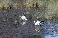 遊水地のコウノトリ(久しぶりに現地へ) - 私の鳥撮り散歩