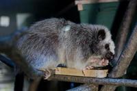 ecoハウチューの動物たち~ウスイロホソオクモネズミとモモンガのお食事(埼玉県こども動物自然公園) - 続々・動物園ありマス。