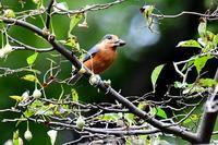 ヤマガラ~天然の貯蔵庫 その1~ - 小鳥の瞳に恋してる