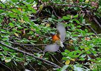 ムギマキ&ツルマサキの実 - THE LIFE OF BIRDS ー 野鳥つれづれ記