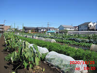 New!小春日和のような畑へ! - やさい畑につかまって     The Catcher in the Yasai-Fields!