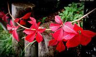 次々出てきた芽、来年の花予定♪ - どんぐりの木の下で……