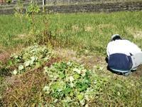 なんだかんだ~さつま芋収穫終了!・・・息子の助っ人 - 化学物質過敏症・風のたより2