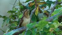 10月25日はアリスイの日! - Life with Birds 3