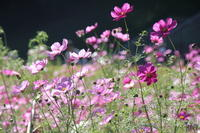 コスモス@くりはま花の国 - ~Photo Memory~