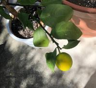 レモンとアゲハ - rhizome2-地下茎-