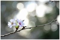 10月桜 -  one's  heart