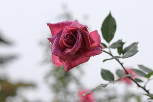 敷島公園 ばら園・・・2  10/25日 - 四季折々