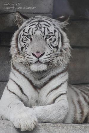 2020.10.14 東武動物公園☆ホワイトタイガーのシュガーくん【White tiger】 - 青空に浮かぶ月を眺めながら