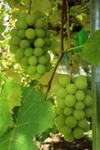 後もう少しで収穫の房 - ~葡萄と田舎時間~ 西田葡萄園のブログ