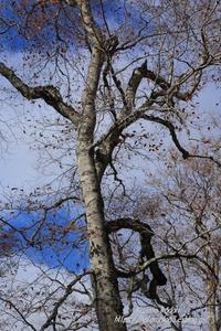 裸木- 照葉峡 ⑤ - - 風の彩りー3