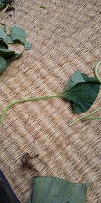 サツマイモの茎佃煮 - 虫のひとりごと