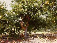 ラストミニッツのリンゴ狩り - asatologⅢ