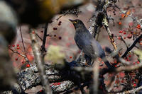 高原のクロツグミ(黒鶫) - 野鳥などの撮影記録