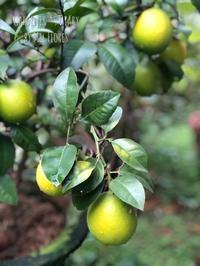 レモンがいっぱい…久しぶりのセビッチェ - Gardener*s Diary