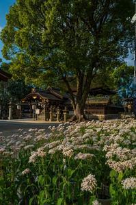 藤森神社の藤袴 - 鏡花水月