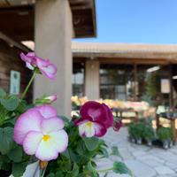 本店の花苗の入荷情報です^ ^ - ブレスガーデン Breath Garden 大阪・泉南のお花屋さんです。バルーンもはじめました。