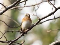 枝先に舞い上がったアトリ - コーヒー党の野鳥と自然パート3