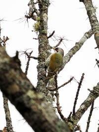 樹幹に飛来したアオゲラ - コーヒー党の野鳥と自然パート3