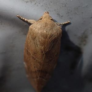 ニレキリガ? Cosmia affinis ?? - 写ればおっけー。コンデジで虫写真