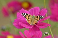 ヒメアカタテハコスモスの園で - 蝶のいる風景blog
