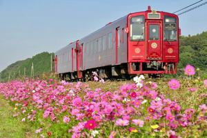 ことこと列車とコスモス - ポン太の写真帳別館
