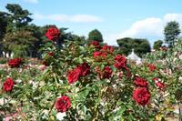 秋の薔薇園へ~敷島公園Ⅰ - 季節の風を追いかけて
