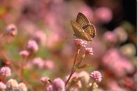 ヒメツルソバに集まる蝶 - ハチミツの海を渡る風の音