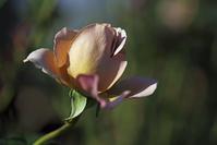 花菜ガーデン5 - 生きる。撮る。