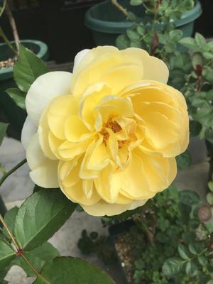 リュシオール2日目と他の黄色のバラ - バラやらナンやら