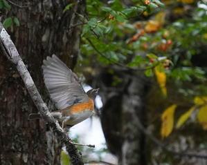 明日から戸隠が始まるよ! ツルマサキにマミチャジナイ  TGJ - シエロの野鳥観察記録