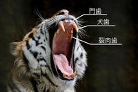 〜アムールトラの歯の話〜(犬歯編) - Animalphotographys's Blog