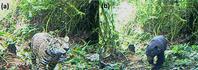 カメラトラップが捉えた南米最大の二大陸上捕食動物 - アニマル情報202X