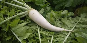 方領だいこん - 「あいちの伝統野菜」畑から