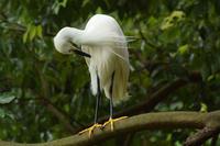 樹上のコサギ Little egret - 素人写人 雑草フォト爺のブログ