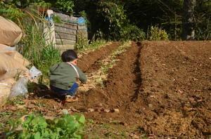 トウ菜の苗 植え付け -