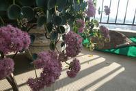 ミセバヤが咲いてます@ベランダ - そらいろのパレット