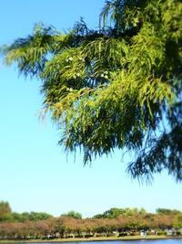 ラクウショウの木と…。 - のーんびり hachisu 日記