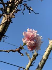 八重桜~秋に咲いてもいいよね - マミーの伝言