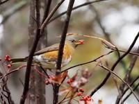 アカハラも近い近い - コーヒー党の野鳥と自然パート3