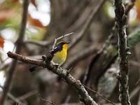 ツルマサキにはキビタキも来た - コーヒー党の野鳥と自然パート3