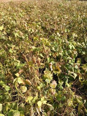 小豆刈り -