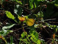 晩秋のチョウⅠ - 飛騨山脈の自然