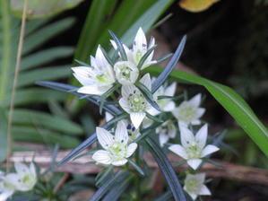 センブリの花 -