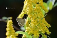 久し振りに鳥撮りです。って、蝶ですけれど,,,(2020/10/28)② - 里山便り