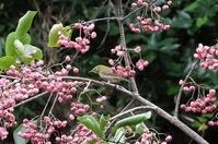 ■マユミに鳥 3種20.10.29(コゲラ、メジロ、ビンズイ) - 舞岡公園の自然2