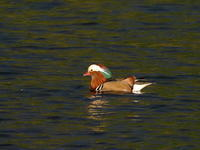 大堤沼のオシドリ - コーヒー党の野鳥と自然パート3