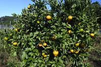 農園果園<柿・蜜柑> - 風のむろさん 自然の詩