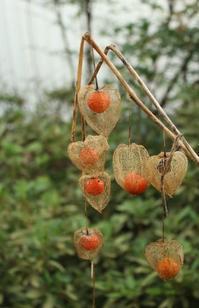20201029 【植物】ホオズキ - 杉本敏宏のつれづれなるままに